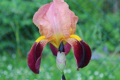 Flower, Blossom, Bloom, Pink, Purple, Nature, Plant