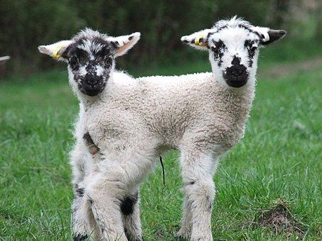 Lamb, Spring, Sheep, Farm, Young, Animal, Wool, Nature