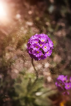 Drumstick, Primrose, Garden, Spring, Flower, Nature