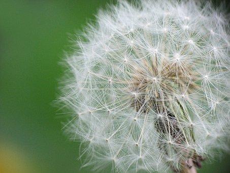 Dandelion, Wild, Flower, Nature, Spring, Meadow, Summer