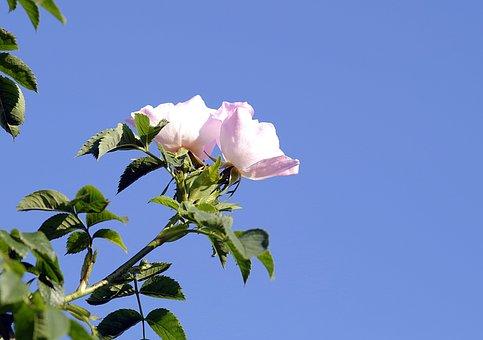 Wild Rose, Flower, Rose, Bush, Sprig, Rose Bush