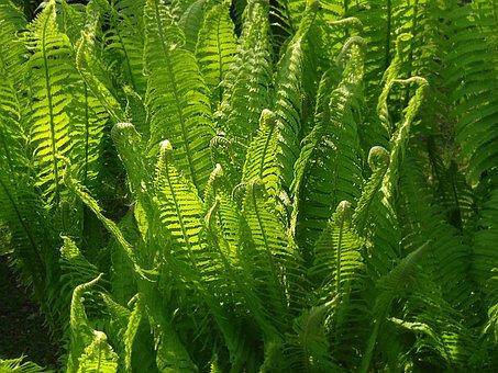 Fern, Green, Nature, Plant, Fern Plant, Fiddlehead