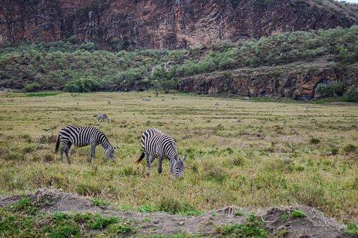 Zebras, Grazing, In, Kenya