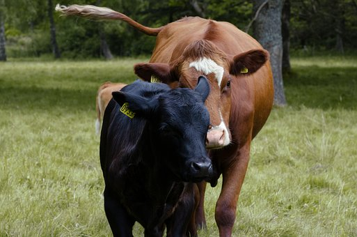 Ko, Calf, Cow, Together, Young Animals