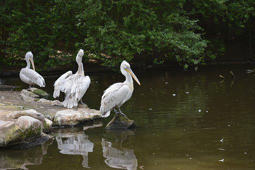 Pelican, Bird, Animal, Nature, Wildlife, Pelican-bird