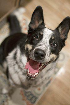 Dog, Pet, Happy, Aussie, Australian Shepherd