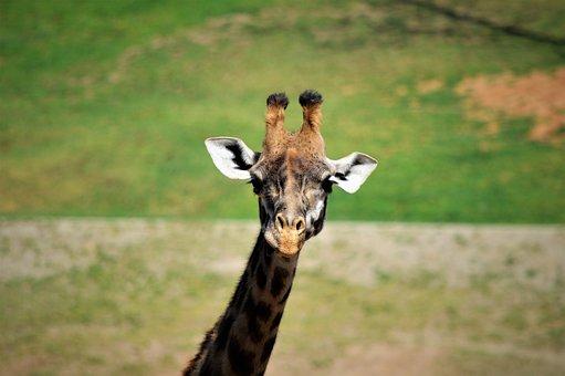 Giraffe, Safari Park, San Diego