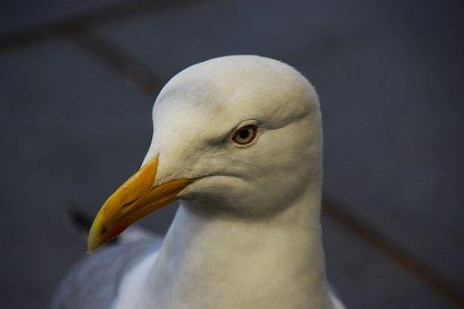 Seagull, Bird, Gull, Nature, White, Wildlife, Beak