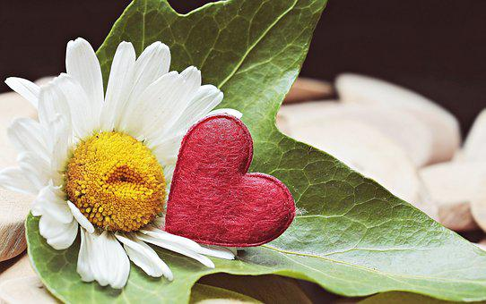 Marguerite, Heart, Wood, Ivy, Blossom, Bloom, Symbol