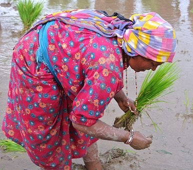 Nepalese, Woman, Rice, Planting, Nepal, Asia, People