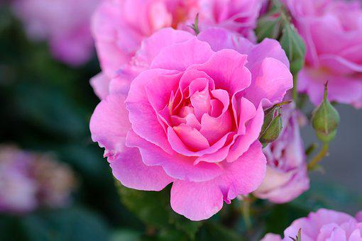 Rose, Pink, Pink Rose, Rose Bloom, Flowers, Blossom