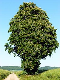 Chestnut Tree, Deciduous Tree, Chestnut, Blossom, Bloom