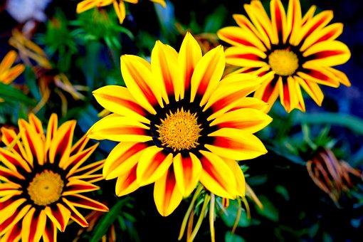 Gazani Hybrids, Flowers, Yellow, Yellow Flower, Nature