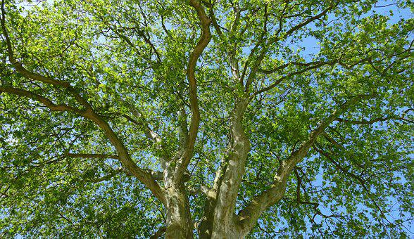 Tree, Crown, Forest, Nature, Leaves, Canopy, Shadow