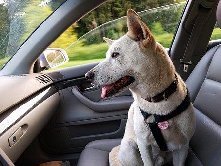 Dog, Car, Ride, Happy, Travel, Pet, Animal, Jindo, Trip