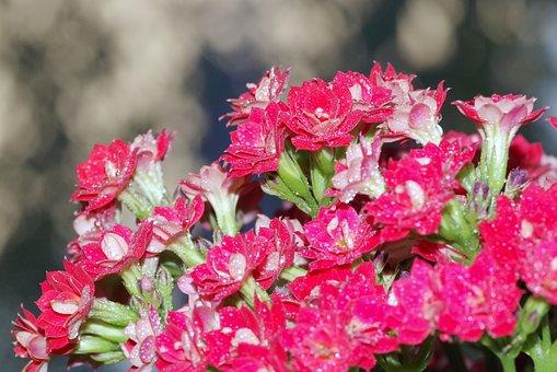 Flowers, Posy, Karmazynowe, Red, Minor, Macro