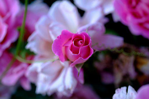 Rose, Pink, Pink Rose, Rose Bloom, Blossom, Bloom