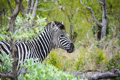 Zebra, Africa, Wild Animal, National Park, Safari
