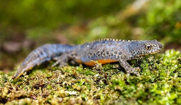 Alpine Newt, Newt, Amphibians, Nature, Animal