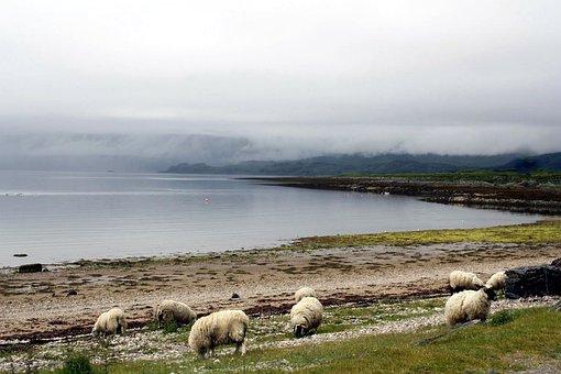 Animal, Sheep, Nebelschleier, Bad Weather Photography