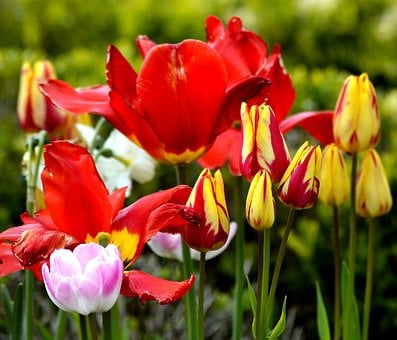 Tulips, Colorful, Spring, Flowers, Bloom