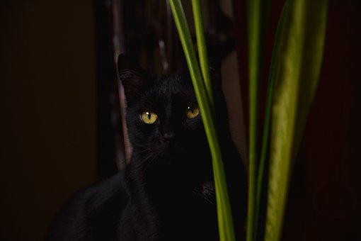 Cat, Black, Domestic Cat, Kitten, Black Cat, Animals