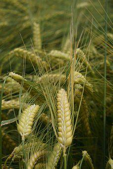 Cereals, Nature, Agriculture, Field Crops, Grain, Ear