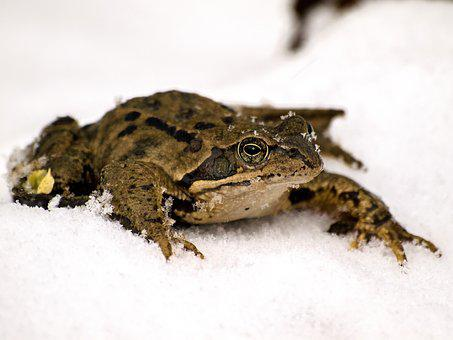 Frog, Common Frog, Amphibians, Nature, Animal, Snow