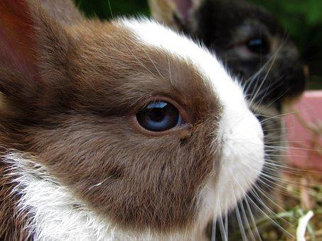 Rabbit, Netherland Dwarf, Cute, Adorable