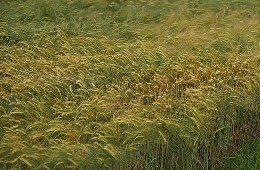 Cereals, Nature, Agriculture, Field, Field Crops, Grain
