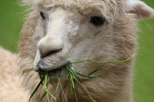 Lama, White, Wildlife Photography, Creature