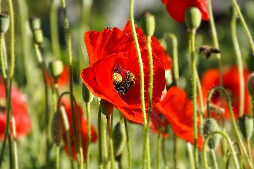 Flowers, Poppy, Green, Nature, Summer, Bee, Honey