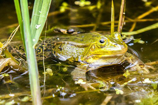 Frog, Water Frog, Amphibians, Nature, Animal