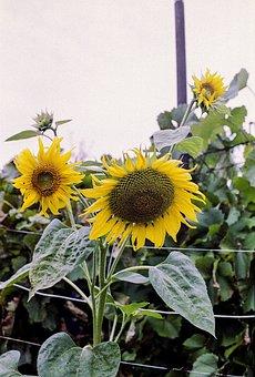 Sunflower, Summer, Yellow, Nature, Flower, Field, Sun