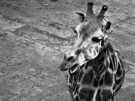 Giraffe, Black, The Zoo, Animal