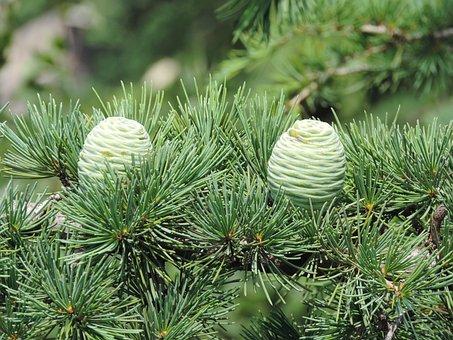Cone, Tree, Pine, Nature, Green, Wood