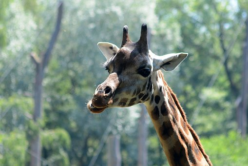 Giraffe, Zoo, Animal, Savanna, Catwalk, Wild Animal