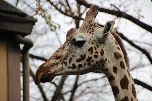 Animal, Zoo, Giraffe