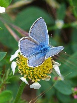 Butterfly, Flower, Pollen, Libar, Blue Butterfly