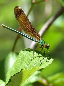 Dragonfly, Iridescent, Green Dragonfly