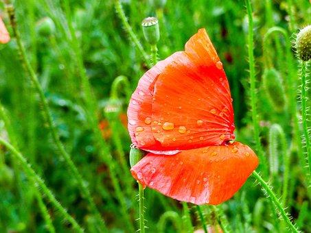 Poppy, Raindrop, Meadow Flower, Red Flower, Flower