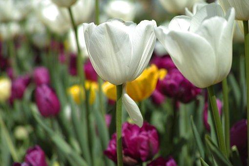 Tulips, Flower, Vivid Color, Flowers, Nature, Plant