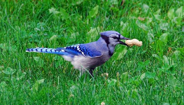 Bird, Bluejay, Blue, Jay, Wildlife, Wild, Colorful