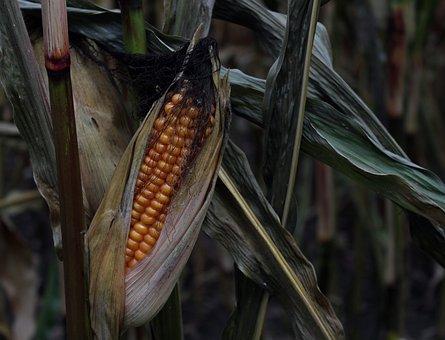 Corn, Corn On The Cob, Field, Cornfield, Leaves, Dry