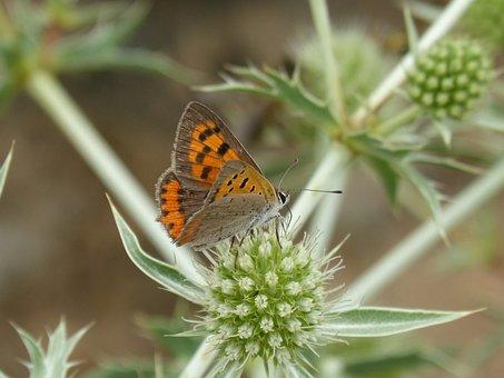 Butterfly, Lycaena Phlaeas, Dry Flower, Libar, Thorns