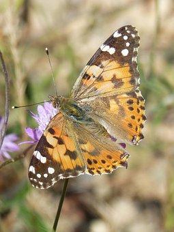 Butterfly, Flower, Libar, Vanessa Cardui, Vanesa