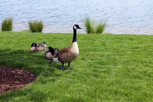 Geese, Pond, Summer, Goose, Nature, Waterfowl
