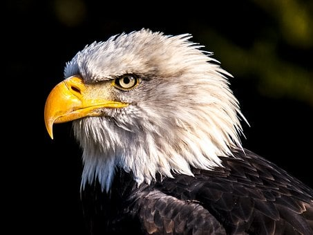 Adler, White Tailed Eagle, Bald Eagle, Bird, Raptor
