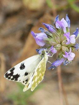 Butterfly, Wild Flower, Libar, Euchloe Crameri