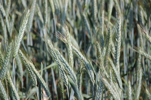 Cereals, Spike, Green, Cornfield, Food, Grain